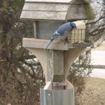 Blue Jay enjoying Bird feeder safe from raccoon and squirrel raids